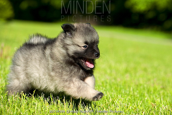 Keeshond (Canis familiaris) puppy running  -  Mark Raycroft
