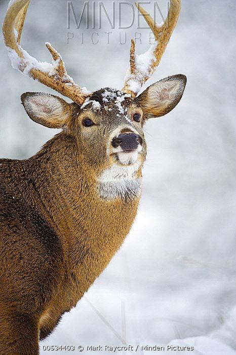 White-tailed Deer (Odocoileus virginianus) male  -  Mark Raycroft