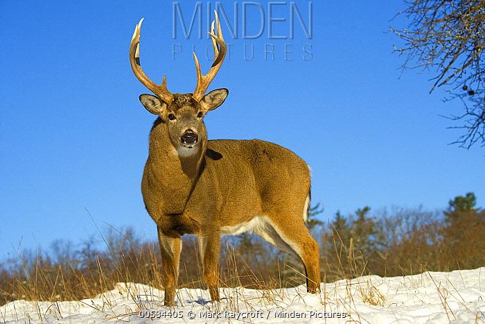 White-tailed Deer (Odocoileus virginianus) buck  -  Mark Raycroft