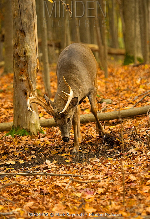 White-tailed Deer (Odocoileus virginianus) buck creating a scrape during rut to attract does  -  Mark Raycroft