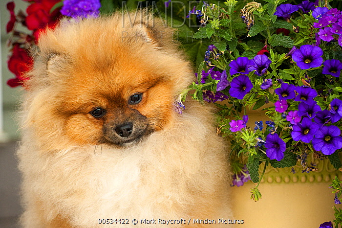 Pomeranian (Canis familiaris) adult and flowers  -  Mark Raycroft
