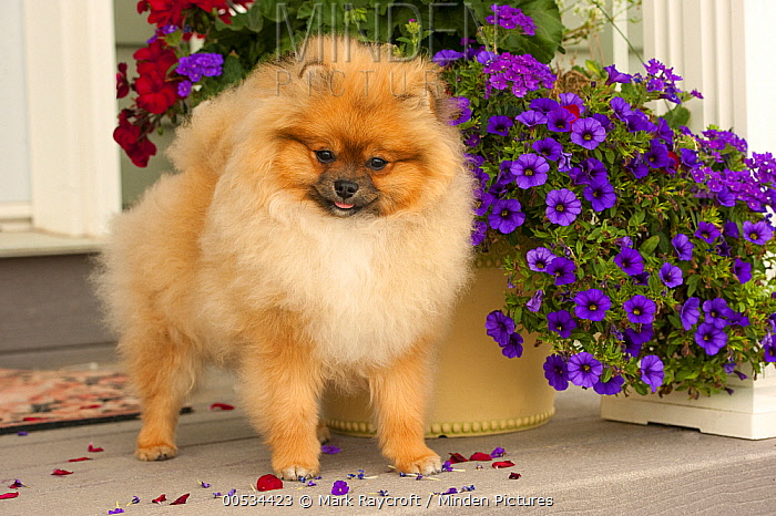 Pomeranian (Canis familiaris) adult and wildflowers  -  Mark Raycroft