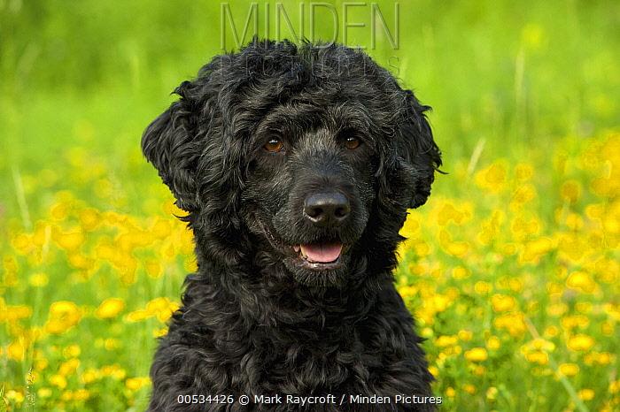 Portuguese Water Dog (Canis familiaris)  -  Mark Raycroft
