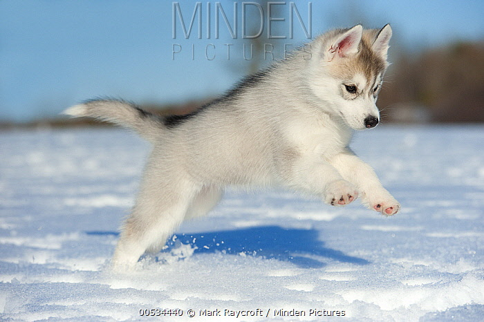 Siberian Husky (Canis familiaris) puppy jumping in snow  -  Mark Raycroft