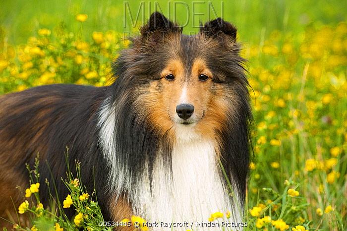 Shetland Sheepdog (Canis familiaris)  -  Mark Raycroft