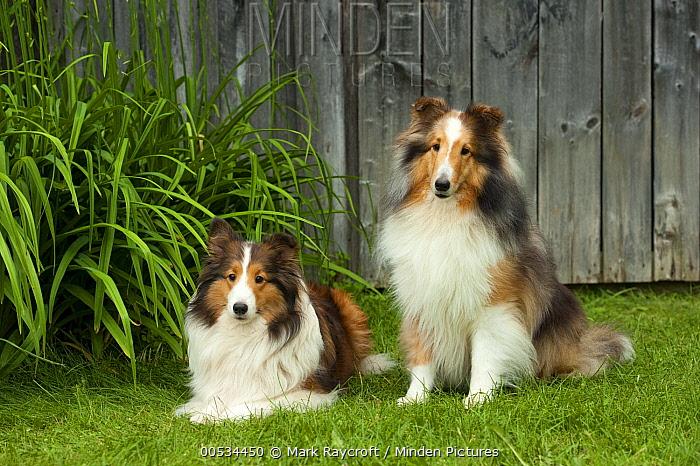 Shetland Sheepdog (Canis familiaris) pair  -  Mark Raycroft