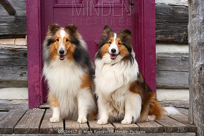 Shetland Sheepdog (Canis familiaris) pair at door  -  Mark Raycroft