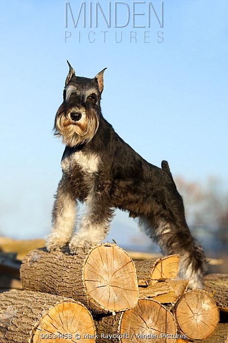 Miniature Schnauzer (Canis familiaris)  -  Mark Raycroft