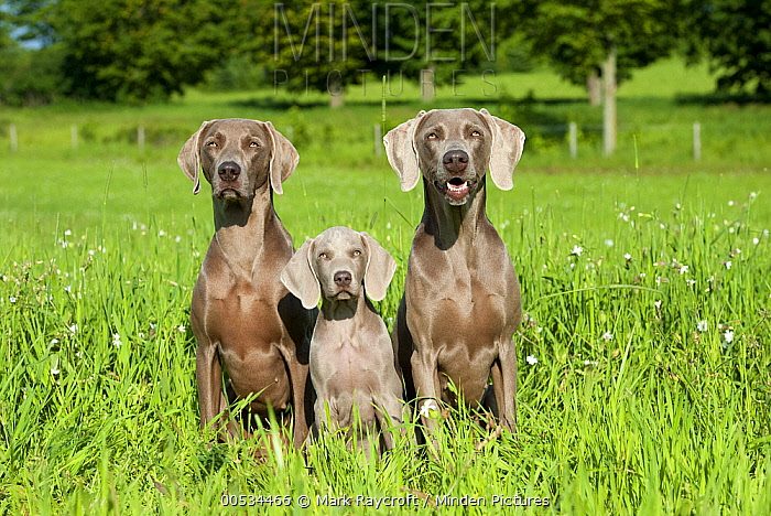 Weimaraner (Canis familiaris) adults and puppy in a field  -  Mark Raycroft