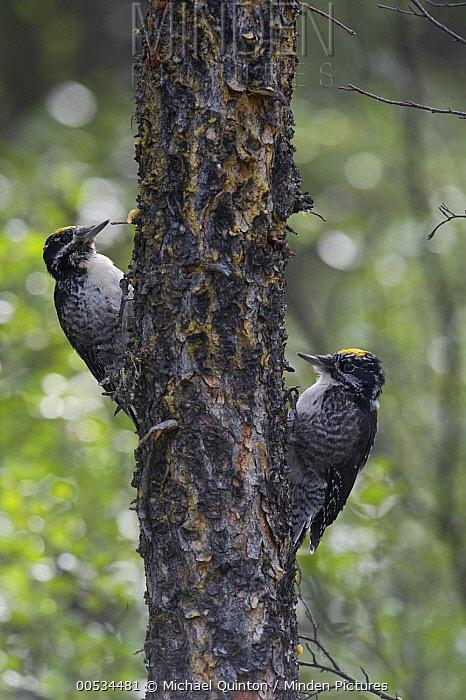 Three-toed Woodpecker (Picoides tridactylus) pair, Alaska  -  Michael Quinton