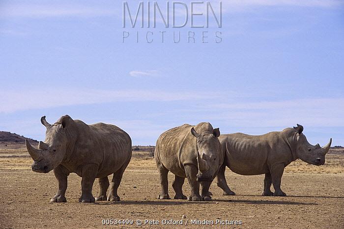 White Rhinoceros (Ceratotherium simum) trio on game reserve, Great Karoo, South Africa  -  Pete Oxford