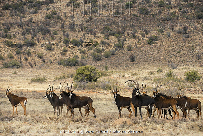 Sable Antelope (Hippotragus niger) on game ranch, Great Karoo, South Africa  -  Pete Oxford