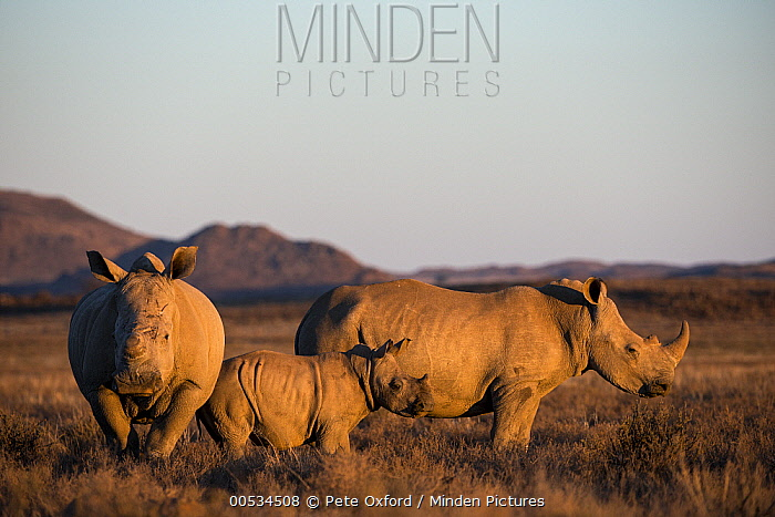 White Rhinoceros (Ceratotherium simum) on game reserve, Great Karoo, South Africa  -  Pete Oxford