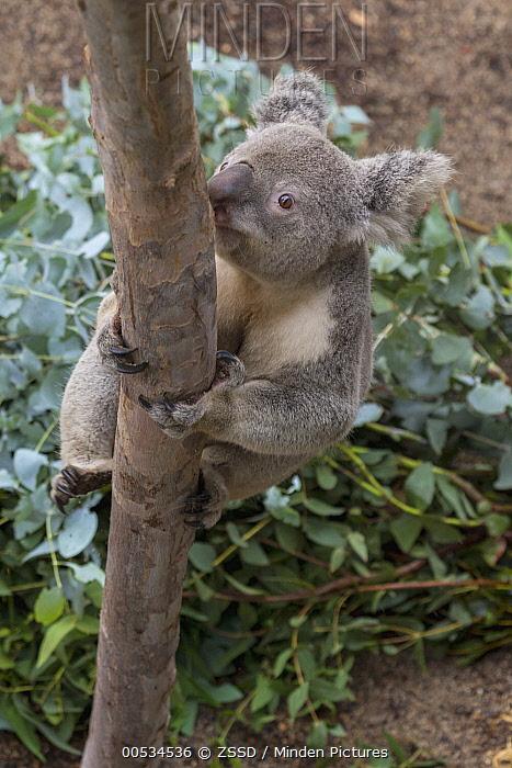 Queensland Koala (Phascolarctos cinereus adustus)  -  ZSSD