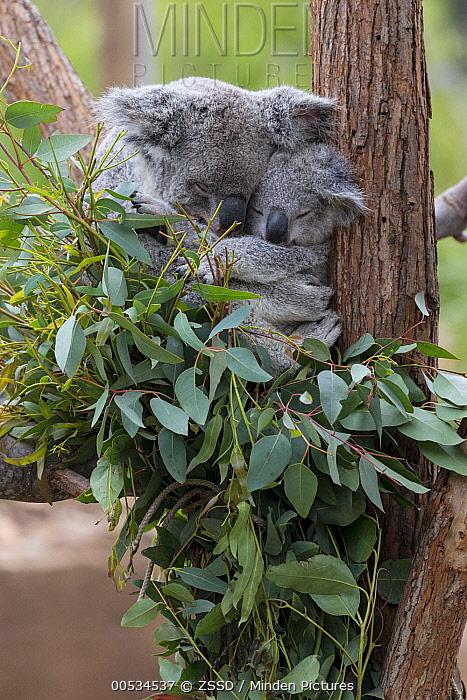 Queensland Koala (Phascolarctos cinereus adustus) and joey sleeping in eucaplytus tree  -  ZSSD