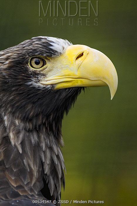 Steller's Sea Eagle (Haliaeetus pelagicus), profile  -  ZSSD