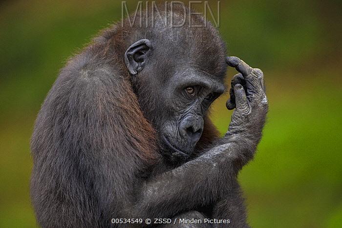Western Lowland Gorilla (Gorilla gorilla gorilla) juvenile  -  ZSSD