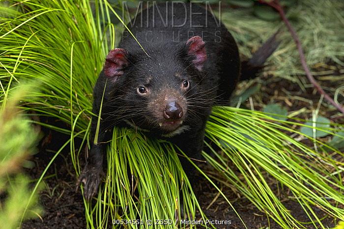 Tasmanian Devil (Sarcophilus harrisii)  -  ZSSD