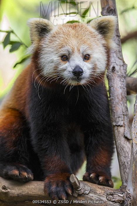 Lesser Panda (Ailurus fulgens)  -  ZSSD