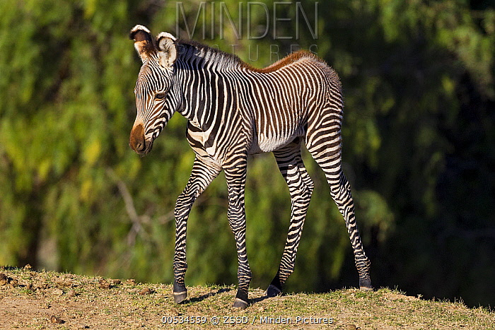 Grevy's Zebra (Equus grevyi) foal  -  ZSSD