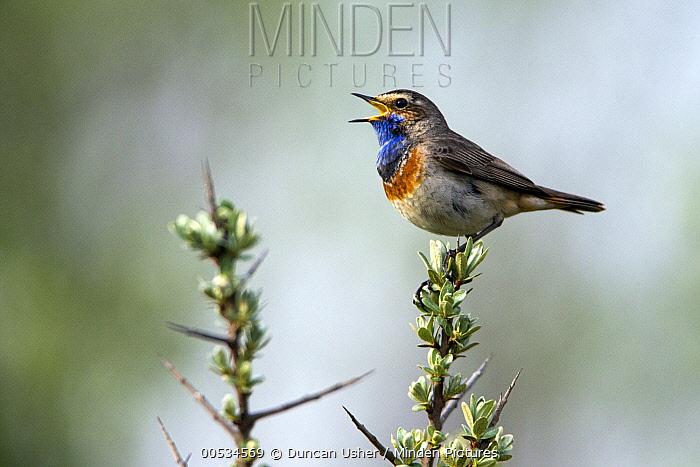 Bluethroat (Luscinia svecica) male singing and displaying, Texel, Holland  -  Duncan Usher