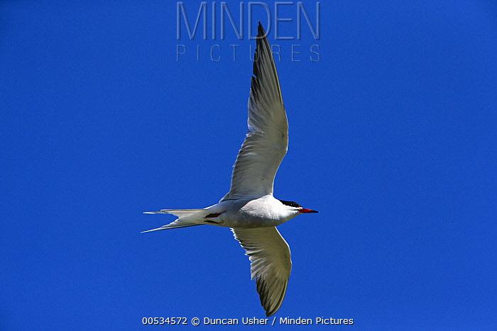 Common Tern (Sterna hirundo) flying, Texel, Holland  -  Duncan Usher