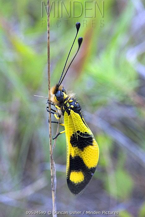Owl Fly (Libelloides macaronius) imago resting on plant stalk, Bulgaria  -  Duncan Usher