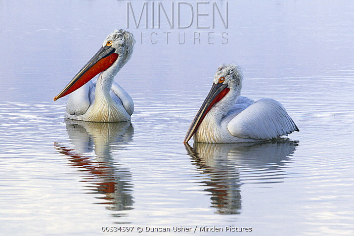 Dalmatian Pelican (Pelecanus crispus) pair swimming on lake, Lake Kerkini, Greece  -  Duncan Usher