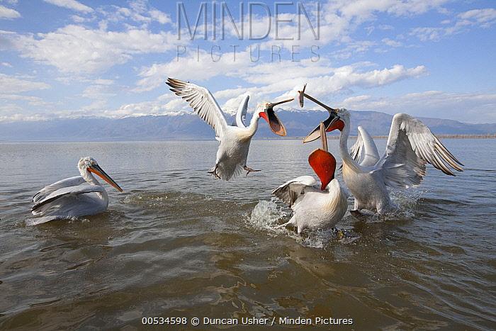 Dalmatian Pelican (Pelecanus crispus) lunging with open mouth to catch fish thrown by fisherman, Lake Kerkini, Greece  -  Duncan Usher