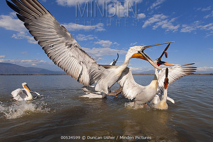 Dalmatian Pelican (Pelecanus crispus) lunging with open mouth to catch fish thrown by fisherman, Lake Kerkini, Greece  -  Duncan Usher