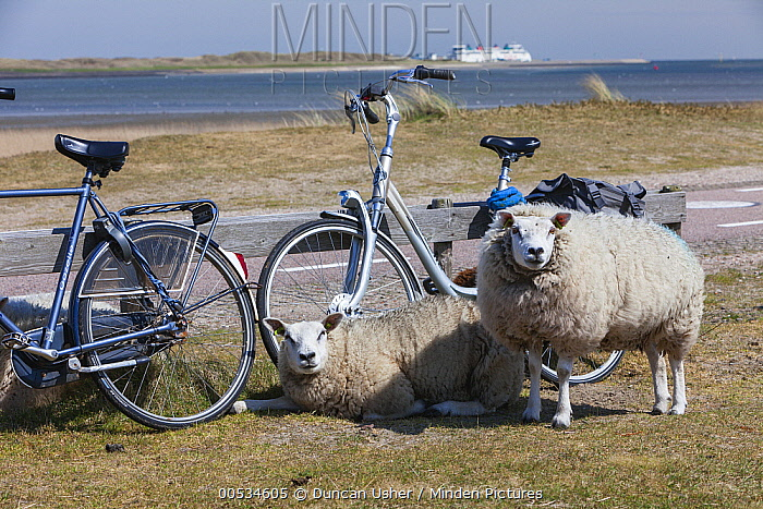 Texel Sheep (Ovis aries) pair near bicycles on road  -  Duncan Usher