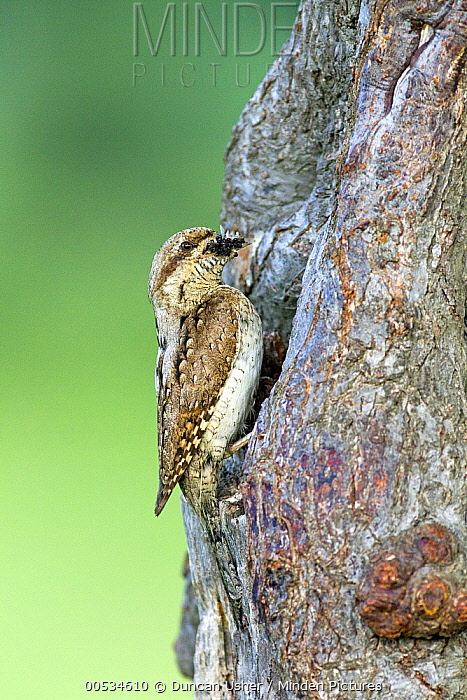 Eurasian Wryneck (Jynx torquilla) carrying food to nest entrance, Bulgaria  -  Duncan Usher