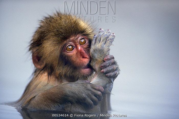 Japanese Macaque (Macaca fuscata) baby sucking its toe in a geothermal spring, Jigokudani Monkey Park, Japan