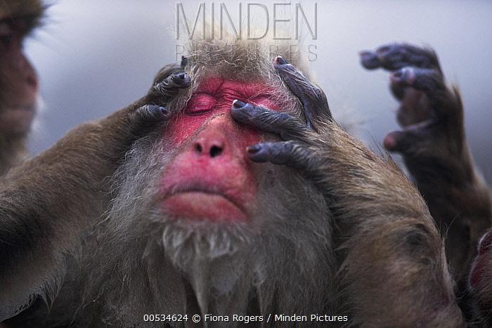 Japanese Macaque (Macaca fuscata) female being groomed, Jigokudani Monkey Park, Japan  -  Fiona Rogers