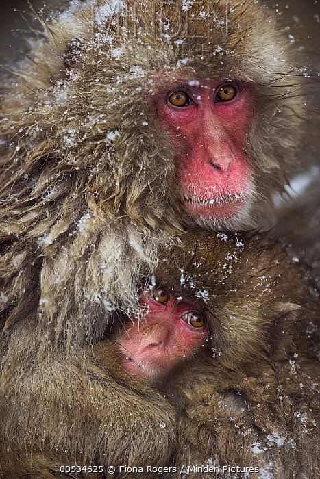 Japanese Macaque (Macaca fuscata) female holding her baby, Jigokudani Monkey Park, Japan  -  Fiona Rogers