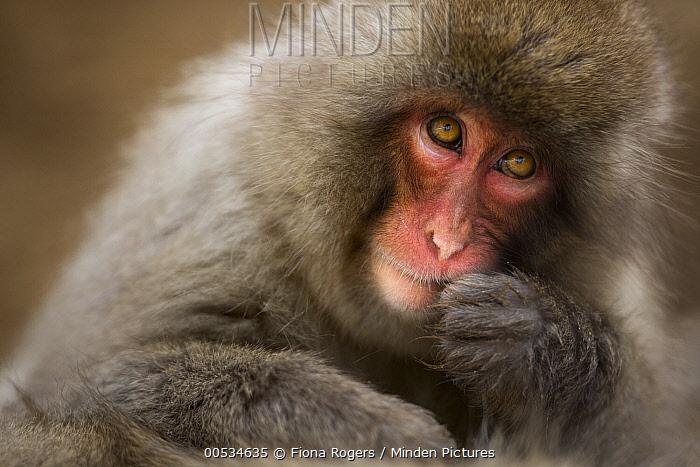 Japanese Macaque (Macaca fuscata), Jigokudani Monkey Park, Japan  -  Fiona Rogers