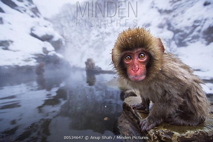 Japanese Macaque (Macaca fuscata) baby at edge of geothermal spring, Jigokudani Monkey Park, Japan  -  Anup Shah
