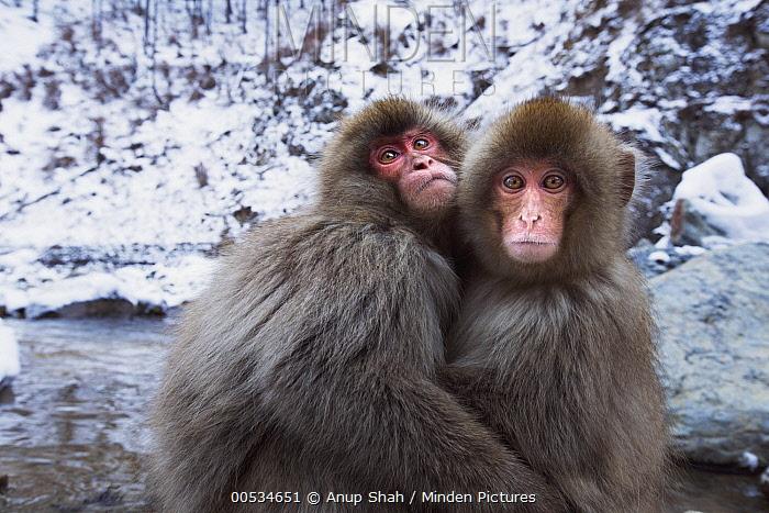 Japanese Macaque (Macaca fuscata) pair huddling together for warmth, Jigokudani Monkey Park, Japan  -  Anup Shah