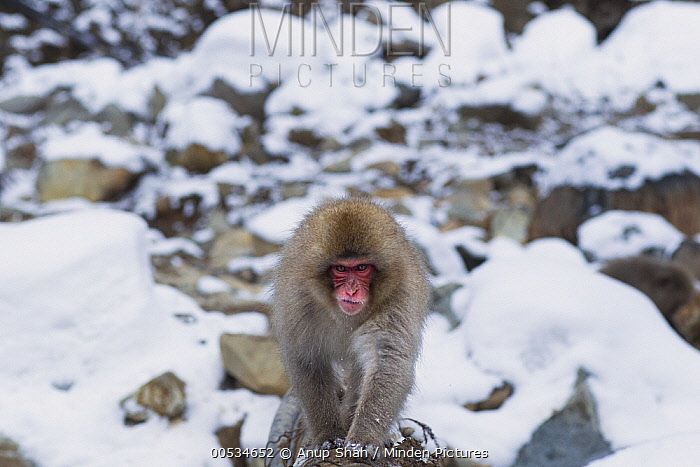 Japanese Macaque (Macaca fuscata) crossing a river on a fallen log, Jigokudani Monkey Park, Japan  -  Anup Shah
