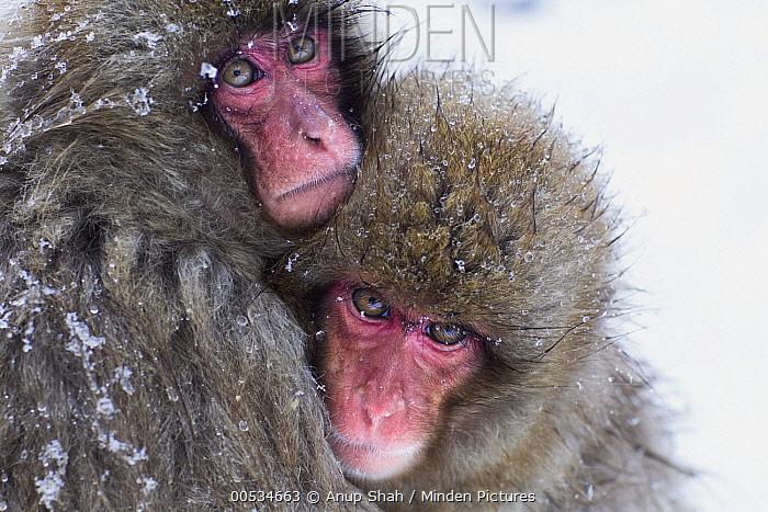 Japanese Macaque (Macaca fuscata) huddling together for warmth, Jigokudani Monkey Park, Japan  -  Anup Shah