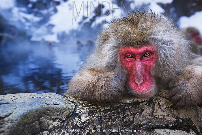 Japanese Macaque (Macaca fuscata) male resting at edge of geothermal spring, Jigokudani Monkey Park, Japan  -  Anup Shah