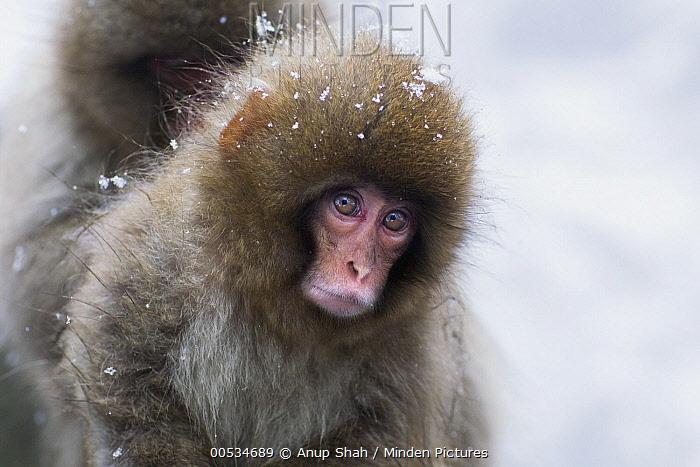 Japanese Macaque (Macaca fuscata) baby, Jigokudani Monkey Park, Japan  -  Anup Shah
