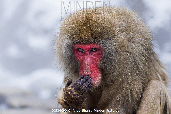 Japanese Macaque (Macaca fuscata) female covering her mouth with her hand, Jigokudani Monkey Park, Japan  -  Anup Shah