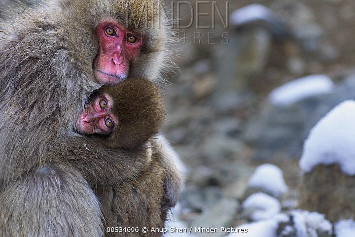 Japanese Macaque (Macaca fuscata) mother and baby huddling for warmth, Jigokudani Monkey Park, Japan  -  Anup Shah