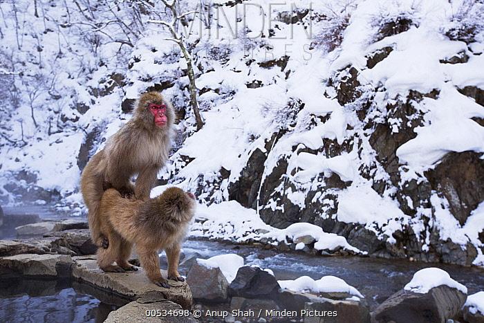 Japanese Macaque (Macaca fuscata) pair mating, Jigokudani Monkey Park, Japan  -  Anup Shah