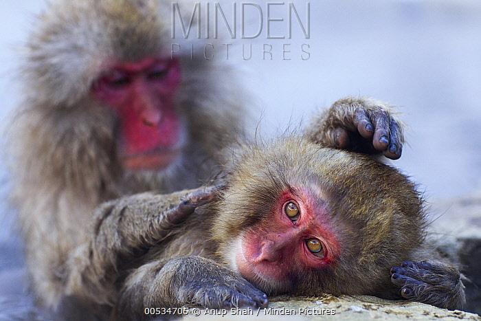 Japanese Macaque (Macaca fuscata) pair grooming at edge of geothermal spring, Jigokudani Monkey Park, Japan  -  Anup Shah