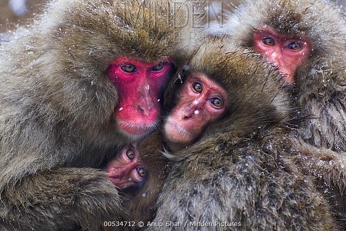 Japanese Macaque (Macaca fuscata) group huddling together for warmth, Jigokudani Monkey Park, Japan  -  Anup Shah