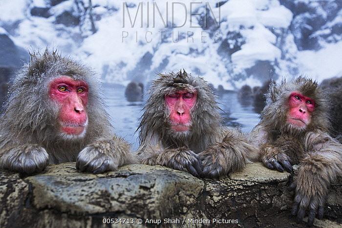 Japanese Macaque (Macaca fuscata) trio resting at edge of geothermal spring, Jigokudani Monkey Park, Japan  -  Anup Shah