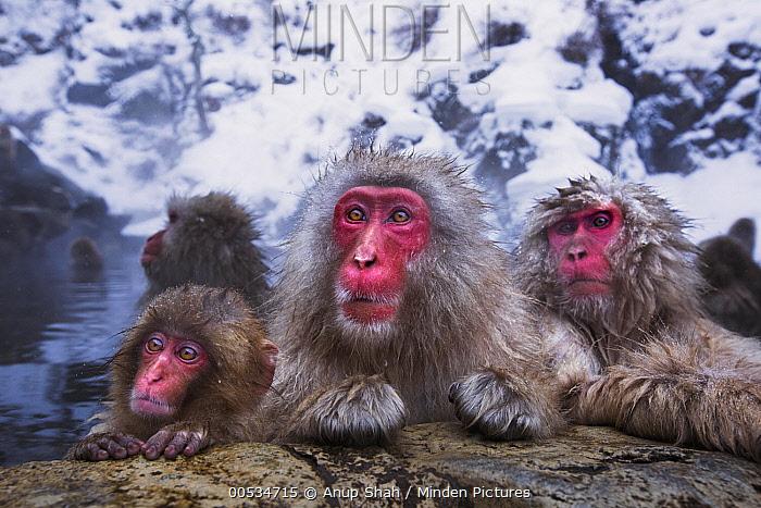 Japanese Macaque (Macaca fuscata) resting at edge of geothermal spring, Jigokudani Monkey Park, Japan  -  Anup Shah