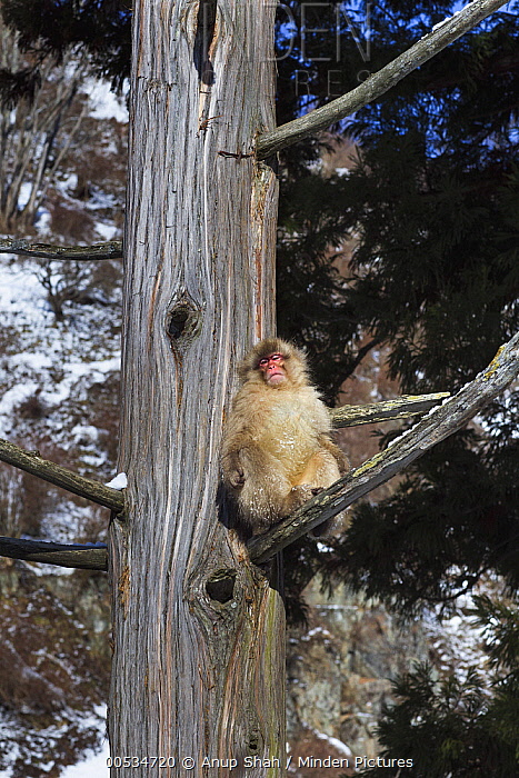 Japanese Macaque (Macaca fuscata) sitting in a tree sunning itself, Jigokudani Monkey Park, Japan  -  Anup Shah